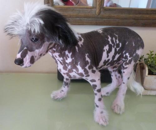 Romeo chien chinois nu elevage du bois foucher