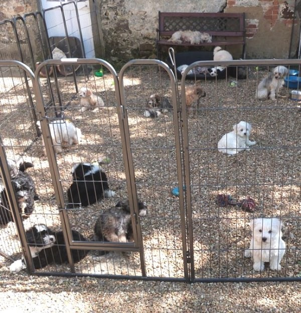 Chiots Chinois Houppette