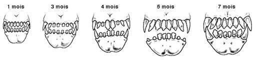 Dentition du chien elevage du bois foucher 1