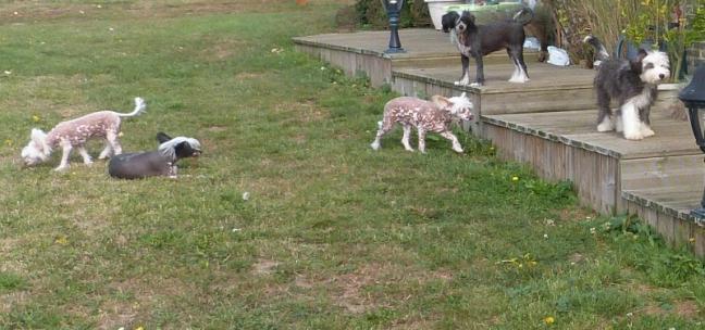 Elevage du bois foucher elevage familial de chiens chinois