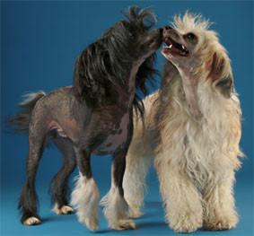Elevage familial de chiens chinois a crete