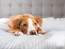 Maladies chien elevage du bois foucher bichons maltais