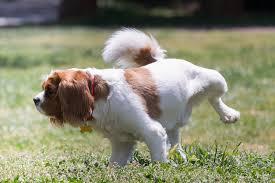 Proprete du chien elevage du bois foucher bichons maltais et chiens chinois a crete