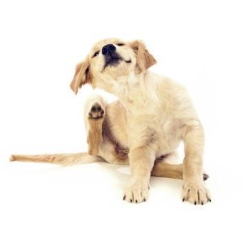 Puces chez le chien elevage du bois foucher bichons et chiens chinois