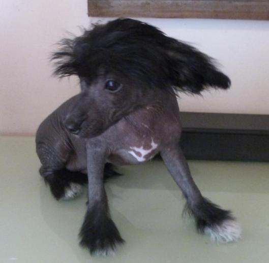 Sha chien chinois nu noir elevage du bois foucher
