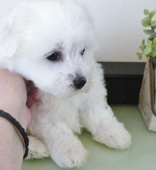 Snoopy 1 chiot bichon maltais