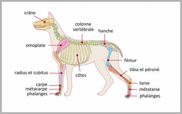 Squelette du chien elevage de chiens chinois