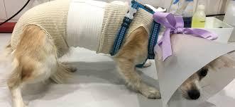 Sterilisation elevage du bois foucher chiens chinois a crete houppette